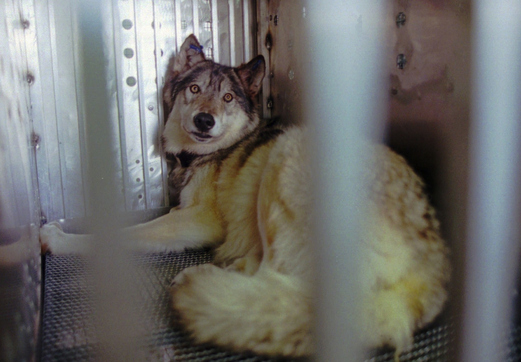 Wolves at the Door: Examining if the fight to save wolves put other animals at risk